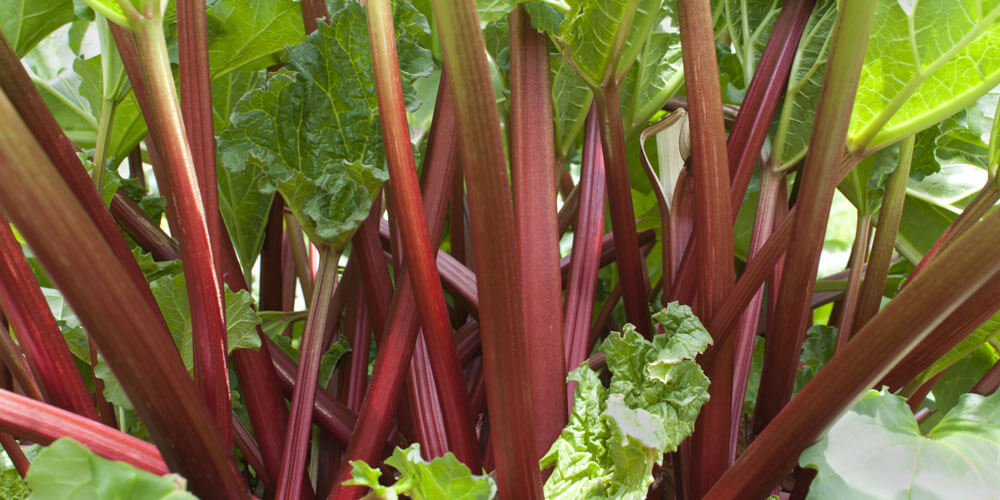 Rhubarb Rocks!  A Medicinal and Culinary Gem